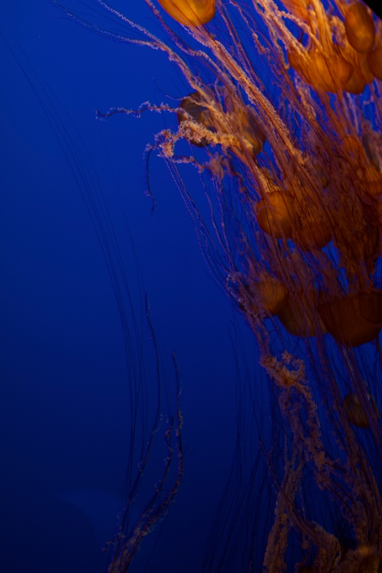 Jellyfish at Monterey Bay Aquarium